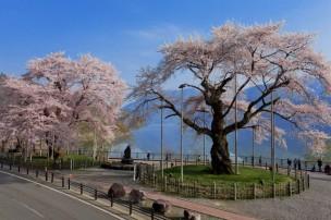 国道158号線-庄川桜